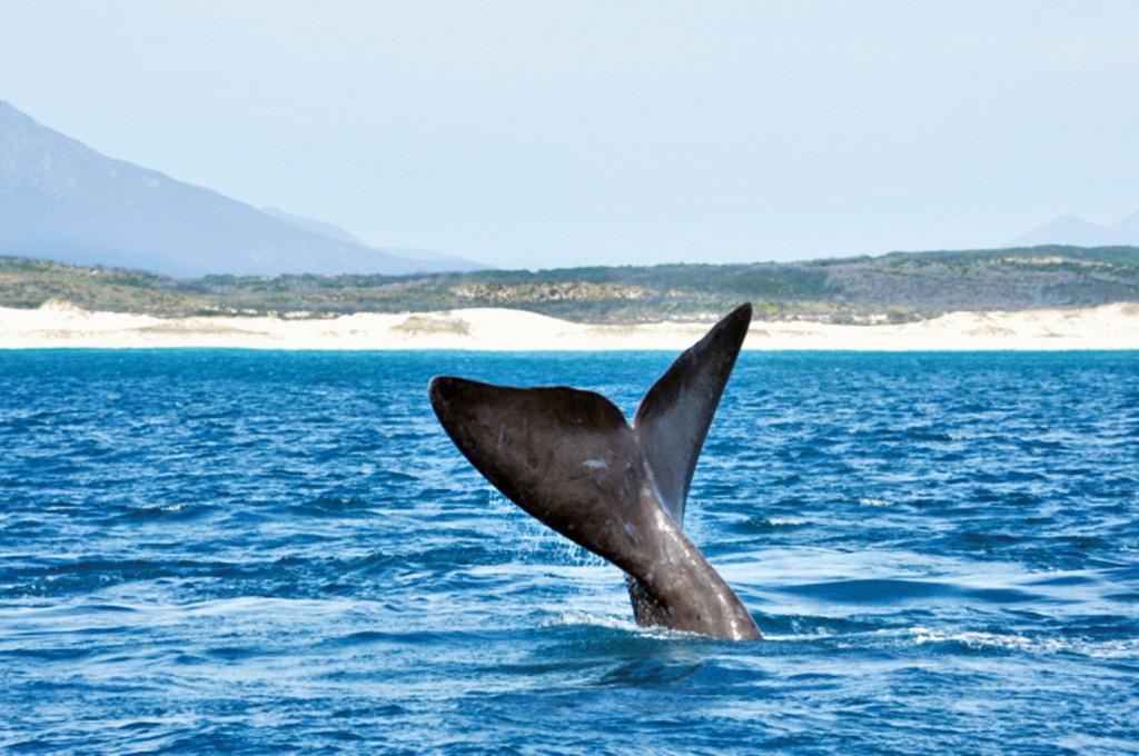Rabo baleia