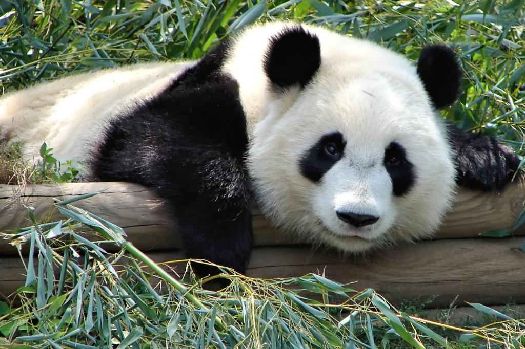 Atlanta_Zoo_Panda