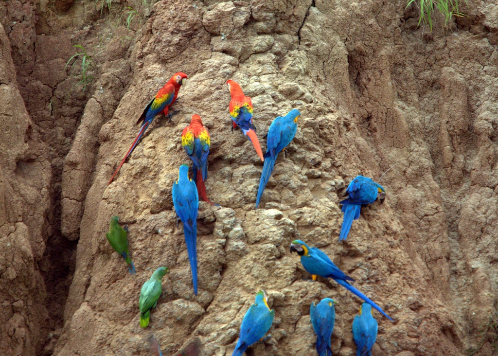 1280px-Parrots_at_a_clay_lick_-Tambopata_National_Reserve,_Peru-8b