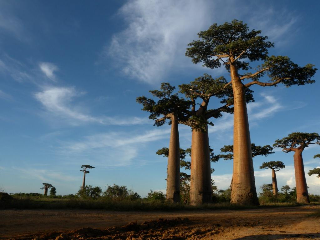 Allée_des_Baobabs_near_Morondava,_Madagascar commons