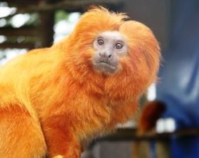 mico-leão-dourado-800 zoo beto carrero
