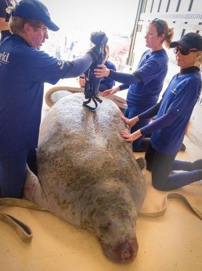 seaworld rescue peixe boi