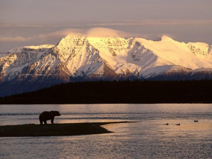 Alasca urso