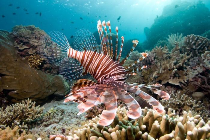 Red Lionfish  Pterois volitans hunting fishes Bunaken Island, Manado Indonesia