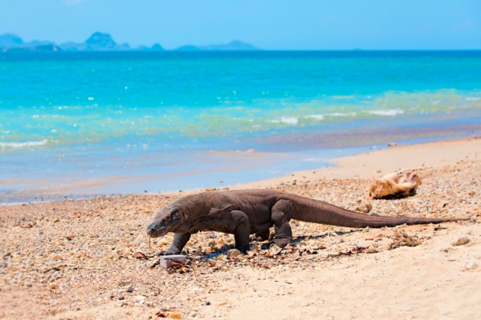 Komodo Dragon walking at the beach on Komodo Island