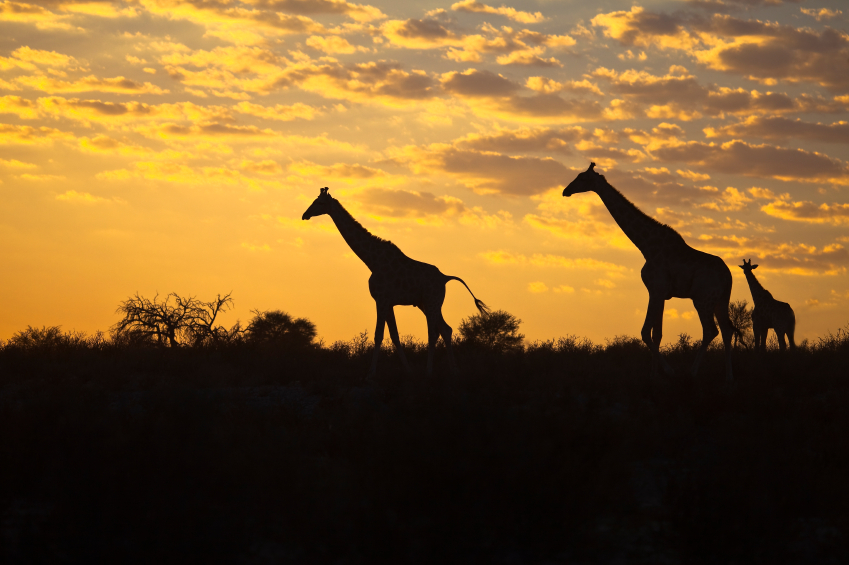 Three Giraffe (Giraffa camelopardalis) silhouetted against a sunrise cloudscape sky in the Kalahari desert, Kgalagadi transfrontier park, South Africa.