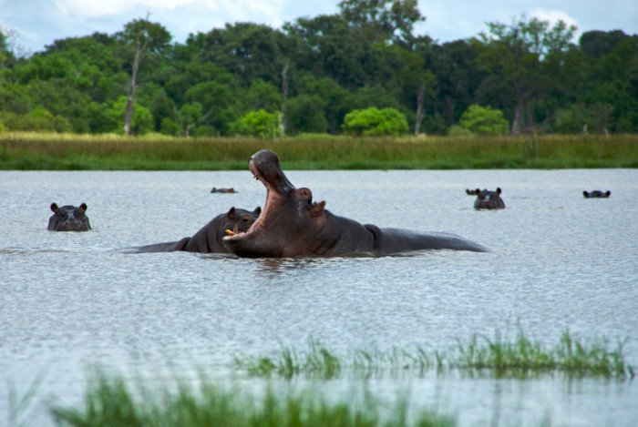 Group of hippos sitting in the water rearing