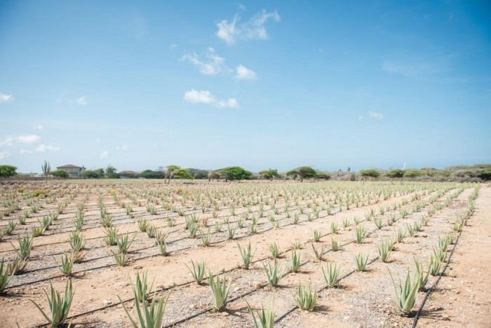 Plantacao de Aloe Vera_Credito_ATA