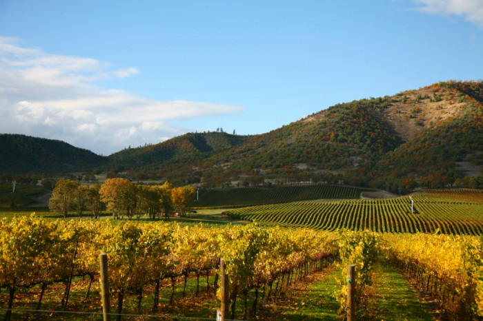 Rows of Grape Vines in Vineyard at Autumn Time
