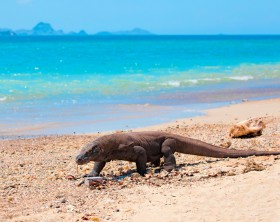 Komodo Dragon walking at the beach on Komodo Island