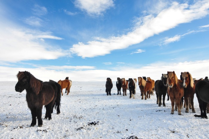 The distinctive breed of Icelandic horses on a sunny winter day.