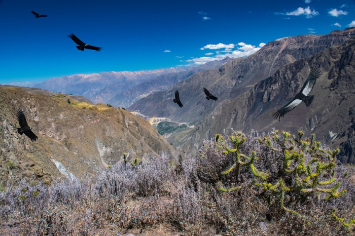 Flying condors above Colca Canyon, Peru. Cruz del condor.