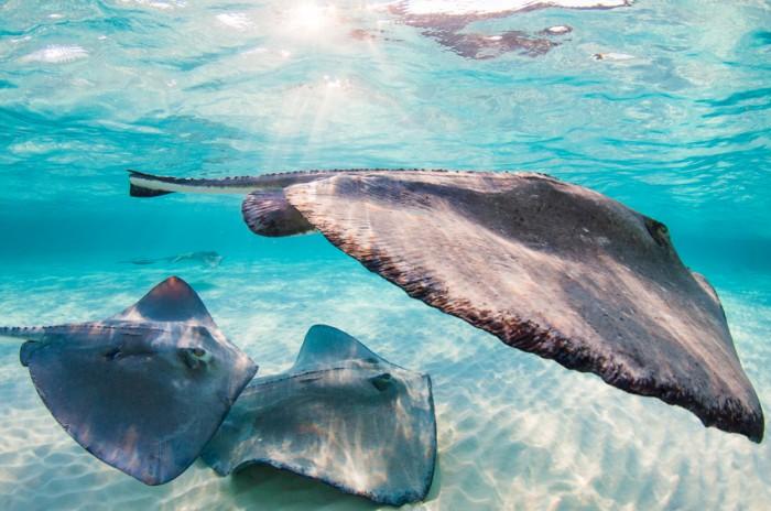 Sunset with stingrays at Stingray City, Grand Cayman, Cayman Islands.