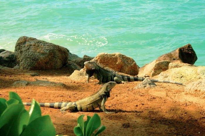 2 - Iguana na ilha Renaissance 2_Credito_ATA