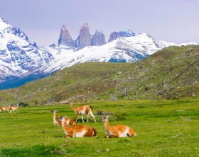 Guanacos are wild relatives of the domesticated llama. The photo shows wild guanacos resting and playing in Torres del Paine National Park ( Parque Nacional Torres del Paine) in Chile (Patagonia), with massive granite towers - the Torres del Paine, for which the park is named - in the background.
