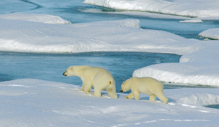 Polar bear mother and cub searching for seal holes on the sea ice on northern Baffin Bay close to Greenland.