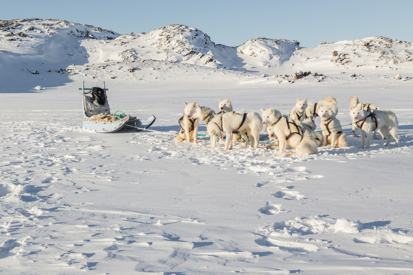 White, fluffy Greenland dogs hitched up to a blue sled during a rest break. Some dogs are sitting down, others are standing up. This is a scenic shot of a landscape which is white and snowy with some small hills. There are footprints leading away from the sled and dogs.