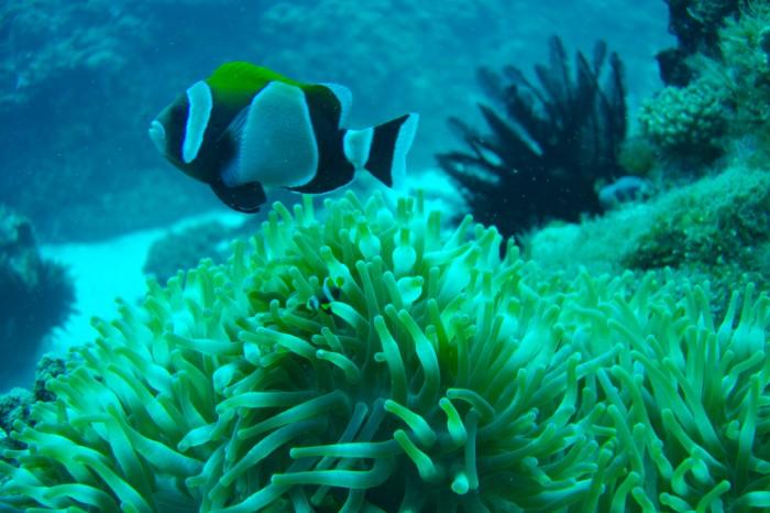 Lord Howe Island Clownfish