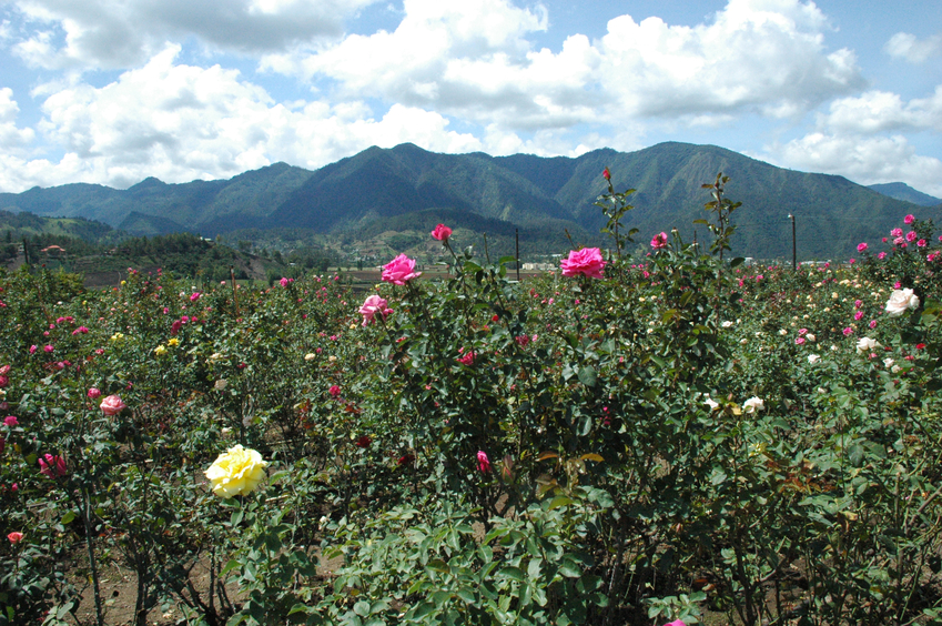 Roses field at Constanza, Dominican Republic