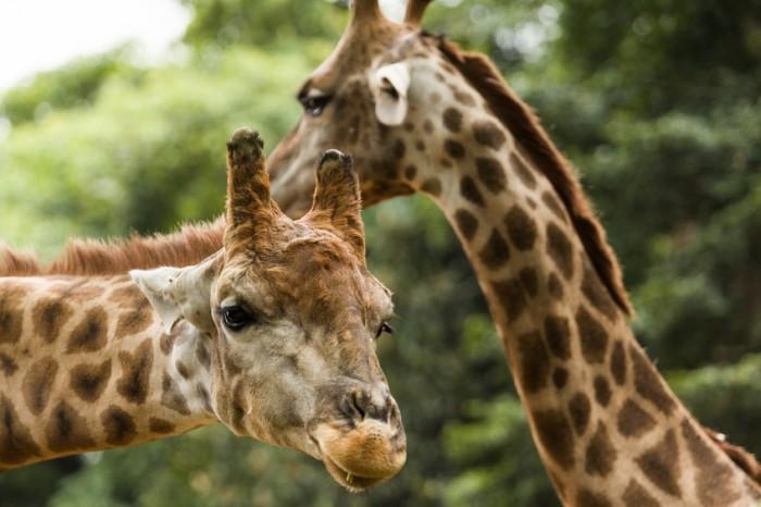 Giraffe in Sao Paulo Zoo.