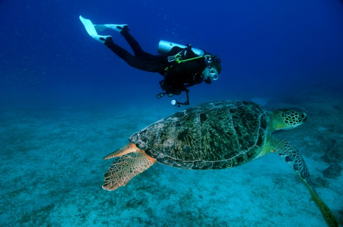 Green Turtle with Diver Underwater