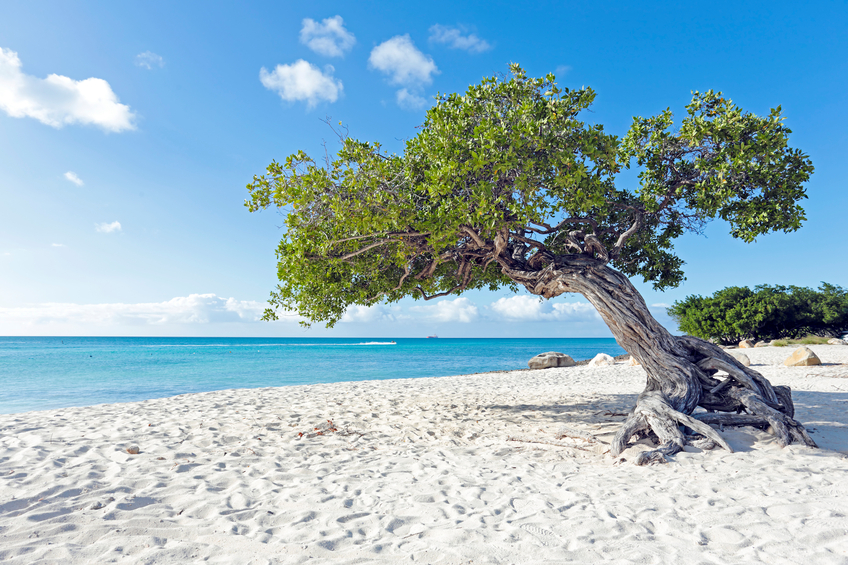 Dividivi tree on Aruba island in the Caribbean