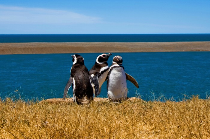 Penguins in Peninsula Valdes, Argentina