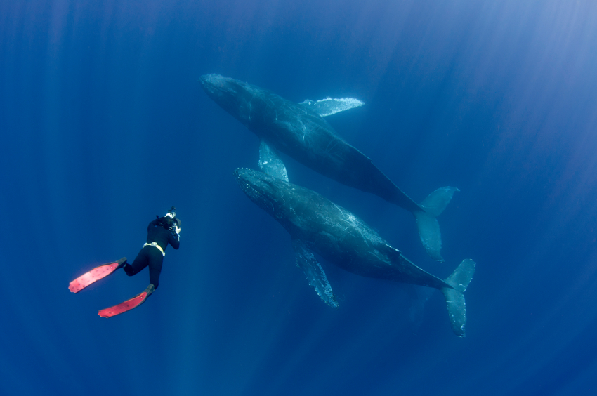 Free diver with red fins photographing humpback whales, Megaptera novaeangliae, off Cabo San Lucas, Mexico