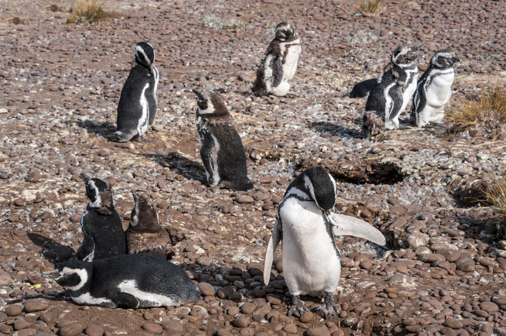 Magellanic Penguins at Natural protected area Punta Tombo, Chubut, Patagonia, Argentina