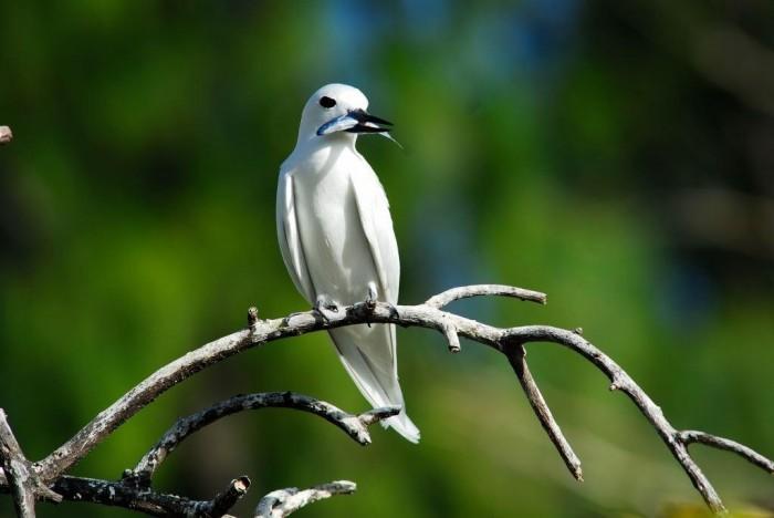 img25-fairy-tern-fish