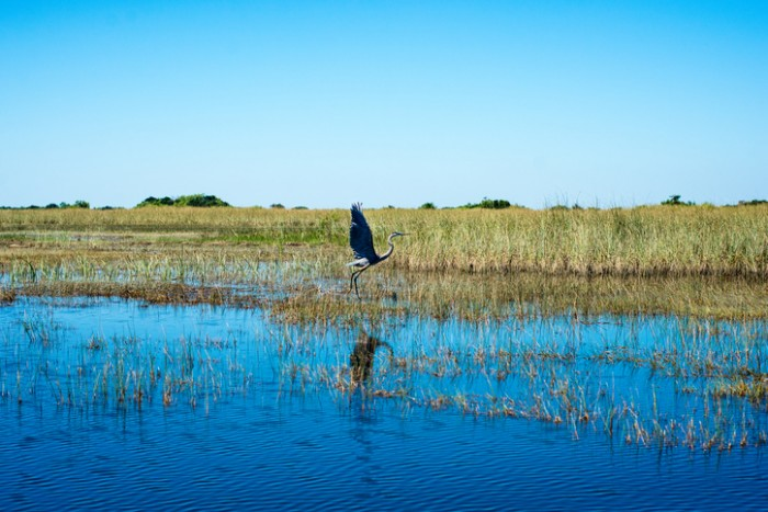 Large Heron taking flight in sunny florida everglades.