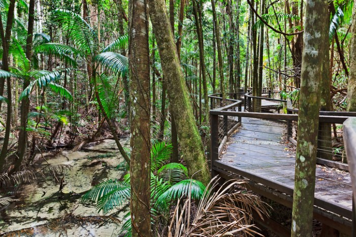 Fraser island rain-forest around Central station along shallow freshwater flowing creek. Timber boardwalk for tourists to see iconic nature of the park.
