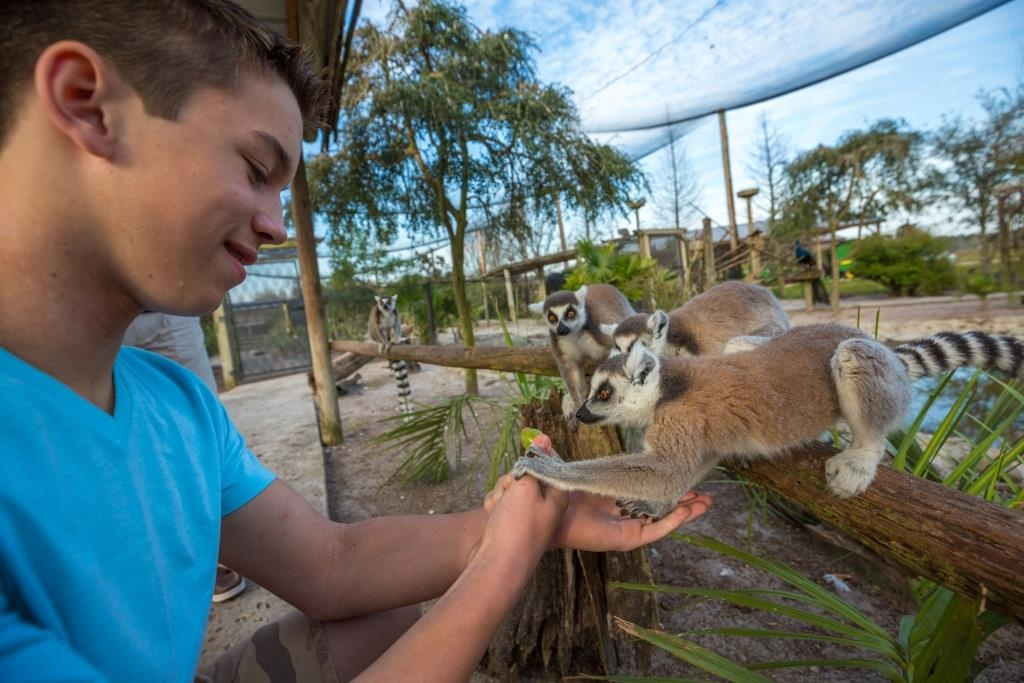 safari-wilderness-ranch-lemur-feeding-boy-feeds-lemurs-1