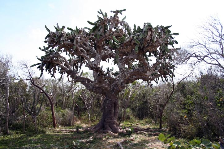 Cactus tree, Cuba