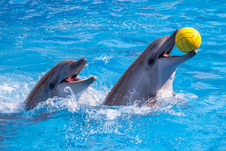 a cute dolphins during a speech at the dolphinarium, Batumi, Georgia.