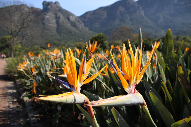 kirstenbosch garden - South Africa