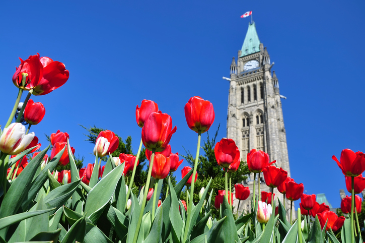 """The Canadian Parliament Building framed by Red Tulips in the Spring in Ottawa, Ontario - the nation's capital. Canadian Tulip Festival in Ottawa, Canada."""