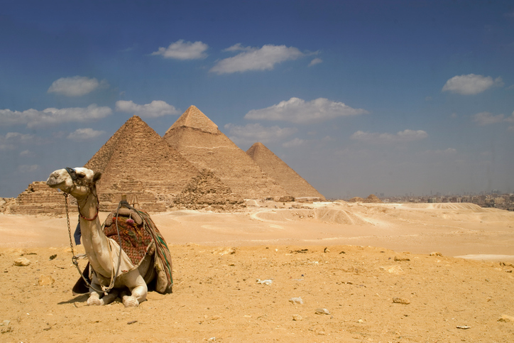 Camel near the Gizeh Pyramids in Cairo Egypt.
