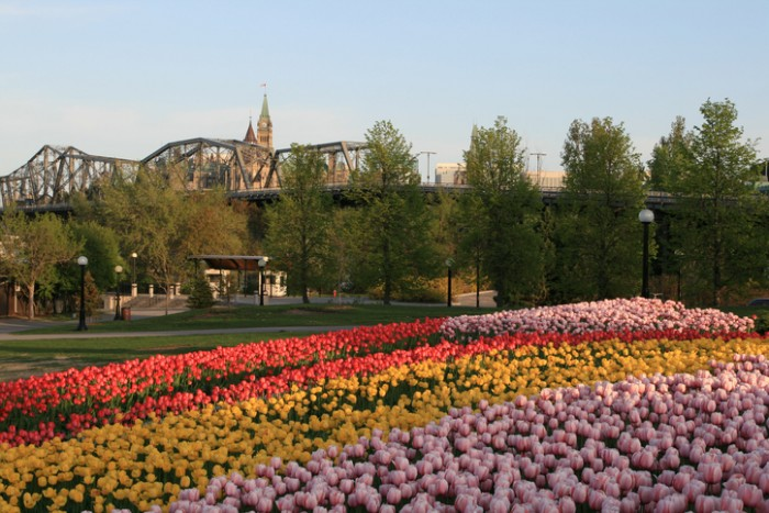 This is a photo taken during the Canadian Tulip Festival in May 2008. On the foreground, there are curves of tulips of red, yellow and pink. The Royal Alexandra Interprovincial Bridge and the Peace Tower of the Parliament Hill are on the background of the photo.