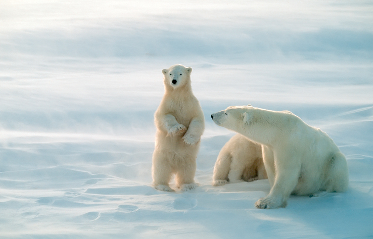 Polar bear cub standing to see further.Canadian Arctic