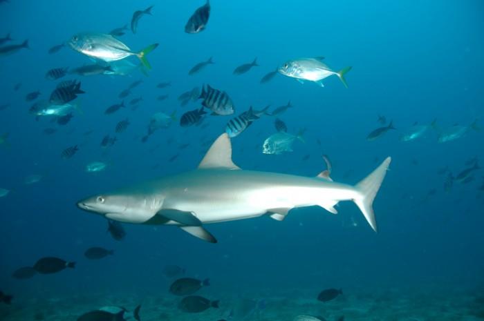 reef shark in Fernando de Noronha ,Pernambuco ,Brasil