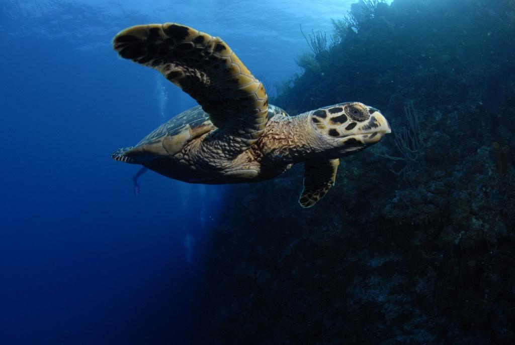 tartaruga-credito-lawson-wood