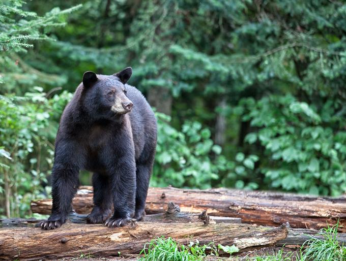 Black bear standing on fallen logs, looking alert and cautious.  Summer in northern Minnesota