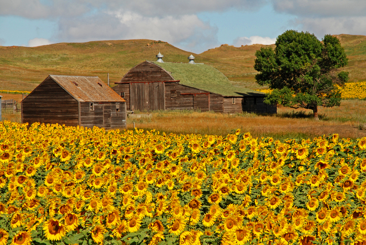 One of the many sunflower fields we noticed in North Dakota.