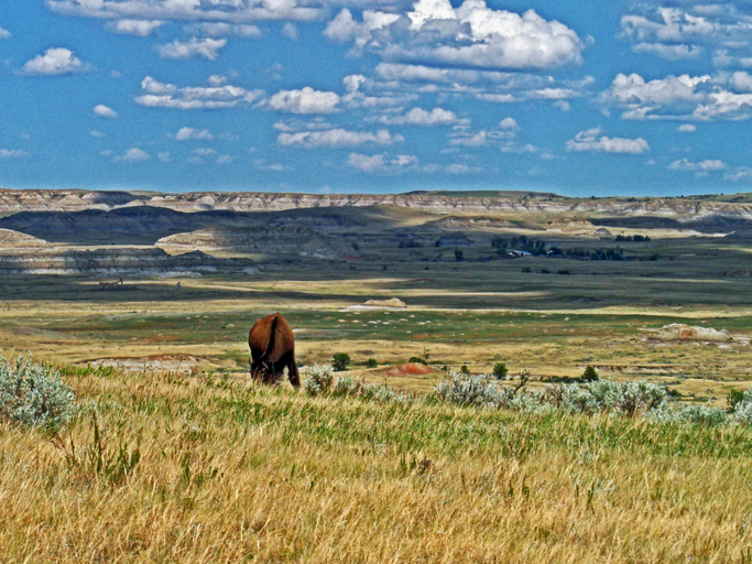 American Bison Buffalo in Theodore Roosevelt National Park in the North Dakota Badlands