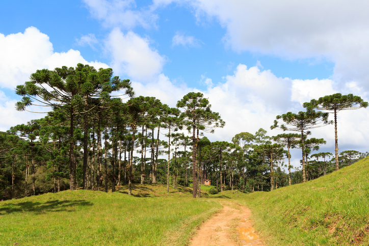 Landscape with Araucaria angustifolia ( Brazilian pine), road and clouds background, Brazil. Selective focus
