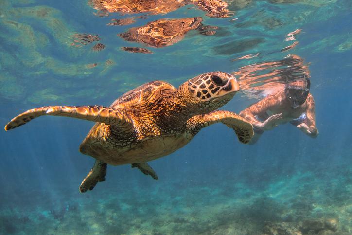 A snorkler and a Hawaiian Green Sea Turtle