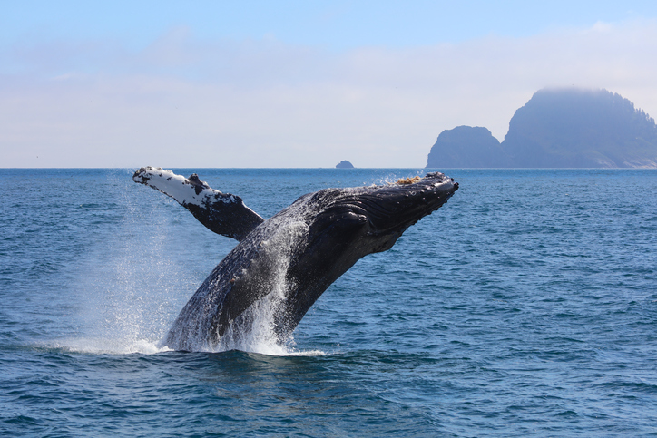 Humpback whale breaching out of the water in Kenai Fjords National Park Alaska summer