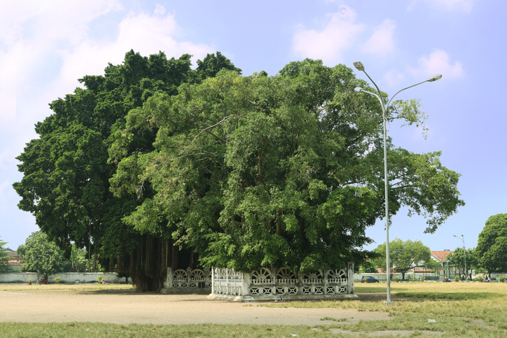 Banyan Tree, Twin Tree, Indonesian Park, Nature