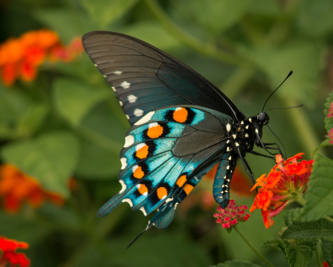 Butterfly (Pipevine Swallowtail) on a Milkweed plant - colorful side view.